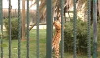 FARUK YALÇIN HAYVANAT BAHÇESİ - Hayvanat Bahçesinde Kaplan Dehşeti Açıklaması 6 Yaşındaki Kız Ve Teyzesi Yaralandı