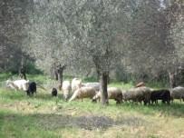 Çiftçi Malları Koruma Başkanlığı Zararcı Çobanların Peşinde