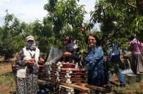 MUSTAFA BIRCAN - Aydın'da Şeftali Entegre Bahçelerinde Hasat Başladı
