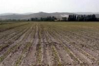 MISIR TOHUMU - Danelik Mısır Tarımına Kayseri Şeker Desteği