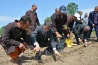 AHMET DURSUN - Bafra Açık Ceza Ve İnfaz Kurumu Sebze Üretecek
