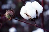 MEHMET ERDEM - AK Parti'li Erdem'den Pamuk Üreticisine Prim Müjdesi