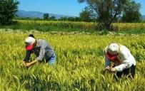 MUSTAFA BIRCAN - Sertifikalı Buğday Tohumu İçin Tarla Kontrolleri Başladı