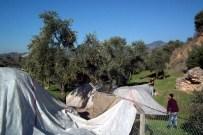 KİMYASAL GÜBRE - Zeytinde İyi Tarım Yapan Üreticiler Artıyor