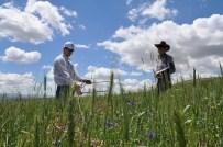OSMAN KıLıÇ - Gemerek'te Hububat Ekili Araziler İnceleniyor