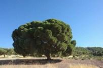 Kilis'te 300 Yıllık Çam Ağacı