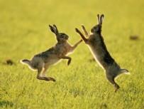 KAÇAK AVCI - Farla öldürülen yaban tavşanları buzdolabından çıktı