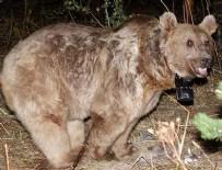ARTVİN ŞAVŞAT - Dünyanın göç eden tek boz ayıları Sarıkamış'ta keşfedildi