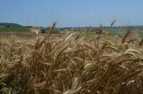 AHMET DURSUN - Bafra Ovası'nda Buğday Hasadı Başladı