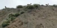 DAĞ KEÇİSİ - Tellere Takılan Dağ Keçilerini Çocuklar Kurtardı