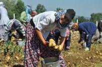 TARıM BAKANı - Patates Çiftçinin Yüzünü Güldürmedi