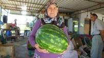Kadriye Hanımın Ürettiği 15 Kiloluk Karpuzlar İlgi Gördü