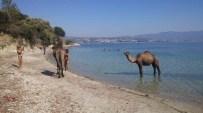 DIANA - Kuşadası'ndaki Eski Çıplaklar Kampı Develere Emanet