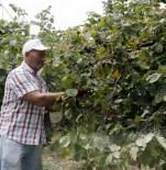 FINDIK TOPLAMA - Trabzonlu Fındık Bahçesine Erken Girdi