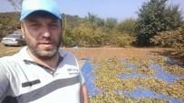 FINDIK TOPLAMA - Düzce'de Fındık Hasadı Başladı