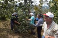 FINDIK HASADI - Giresun'da Fındık Hasadı Başladı