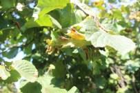 MEFTUN - Fındık Tozları Astım Atağına Yol Açıyor