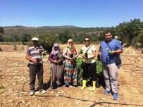 KARAAHMETLI - Yunusemre'de Organik Tarıma İlgi Artıyor