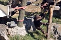 FARUK YALÇIN HAYVANAT BAHÇESİ - Sıcaktan Bunalan Şempanzeler Dondurulmuş Meyveler İle Serinletildi