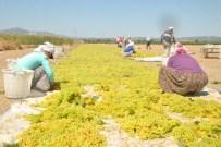DOĞAL AFET - Saruhanlı'Da Üzüm Hasadı Başladı