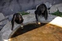 FARUK YALÇIN HAYVANAT BAHÇESİ - Sıcaktan Bunalan Şempanzeler Böyle Serinliyor