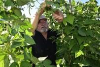 GAZİ YAKINI - Hobi Bahçelerinde Hasat Keyfi