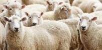 BELEDİYE ENCÜMENİ - Kurbanlık Hayvan Baskül Fiyatları Belirlendi