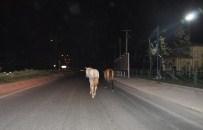 KAPAKLı - Başıboş Atlar Tehlike Saçıyor