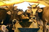 BAĞLUM - Pursaklar'da Kurbanlık Satışları Başladı