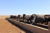 YAZıBAŞı - Sivas İl Özel İdaresi'nden Hayvancılığa Destek