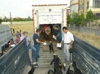 HEKİMHAN - Genç Çiftçilere Kıl Keçileri Dağıtıldı