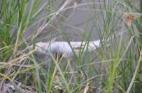 ÇİMENTO FABRİKASI - Kızılırmak'taki Esrarengiz Balık Ölümleri Korkuttu