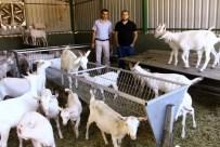 SAANEN - Bu Keçiler Yılda 1 Ton Süt Veriyor