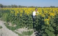 YERLİ ÜRETİM - Konya Şeker Ayçiçeğinde İthal Ayçiçeğinin Yüzde 10 Üstünde Fiyat Verdi