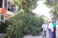 ASIRLIK ÇINAR - Asırlık Ağaç Minibüsün Üzerine Devrildi