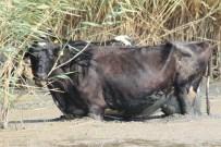 AKÇAOVA - Sıcaktan Bunalan Hayvanlar Manyas Gölü'nde Serinliyor