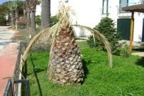 FEROMON - Aydın'da Palmiyeler Kuruyor