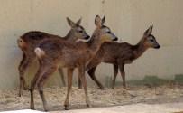 FARUK YALÇIN HAYVANAT BAHÇESİ - Anneleri Tarafından Terk Edilen Yavru Karacalar Darıca Hayvanat Bahçesinde Büyütüldü