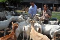 SAANEN - Süt Fabrikası Gibi Keçiler
