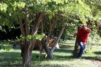 BÜYÜKBAŞ HAYVAN - Antalya'yı Peşine Taktı, Pes Etmedi