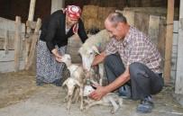 MERINOS - Beşiz Doğuran Koyun Herkesi Şaşkına Çevirdi
