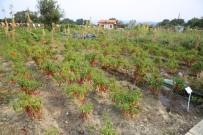 SİVRİ BİBER - Kent Bostanlarında 60 Çeşit Biberden Tohum Elde Edildi
