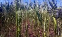 BÜYÜKBAŞ HAYVAN - Çiftçinin Sılajlık Mısırlarına Tırtıl Dadandı