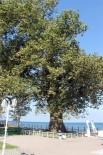 TREN RAYLARı - Atatürk'ün Çınar Ağacı 400 Yaşına Girdi