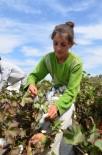 MEVSİMLİK İŞÇİ - Yaşıtları Okulda Ders Görürken Onlar Pamuk Tarlasında Çalışıyor