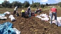 DOĞU KARADENIZ - Türkiye'nin İlk 'Beyaz Patates' Hasadı Yapılacak