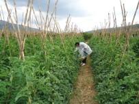 PARA CEZASI - Bilecik'te Sebze-Meyve Ürünlerinde 2016 Yılı Hasat Öncesi Pestisit Denetimleri