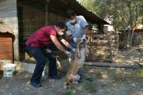 DOYRAN  - Konyaaltı Belediyesi'nden Ölüme Terk Edilen Köpeklere Yardım Eli