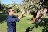 ZEYTİN AĞACI - Asırlık Zeytin Ağaçları Tescillenip Koruma Altına Alındı