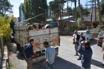 SEVINDIK - Muş'ta Çalınan İnekler Bitlis'te Bulundu
